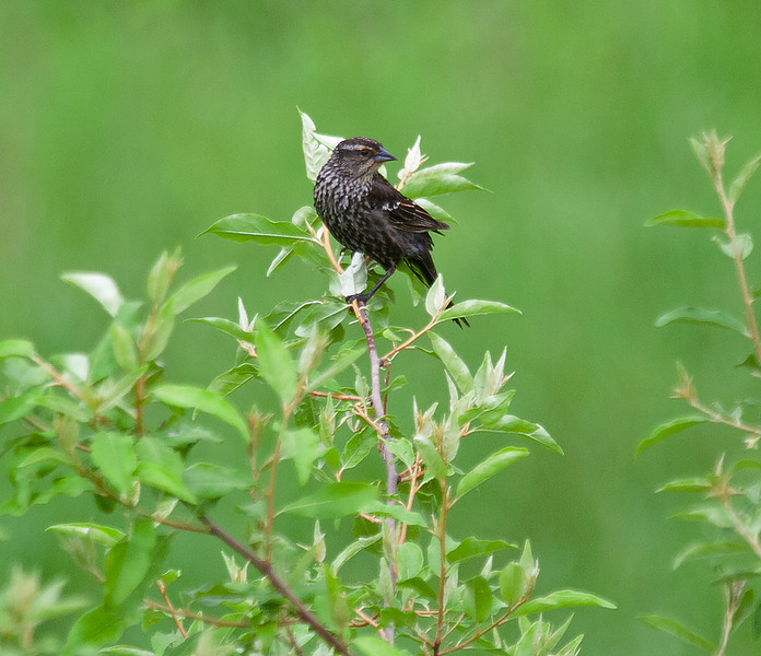 Anyone tell me the name of this particular sparrow?